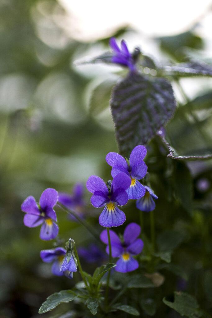 Wilde Stiefmütterchen (Viola tricolor),